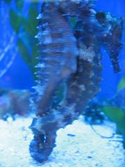 mating seahorses