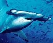 peculiar hammerhead shark