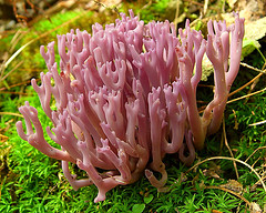 Violet Branched Coral Fungus